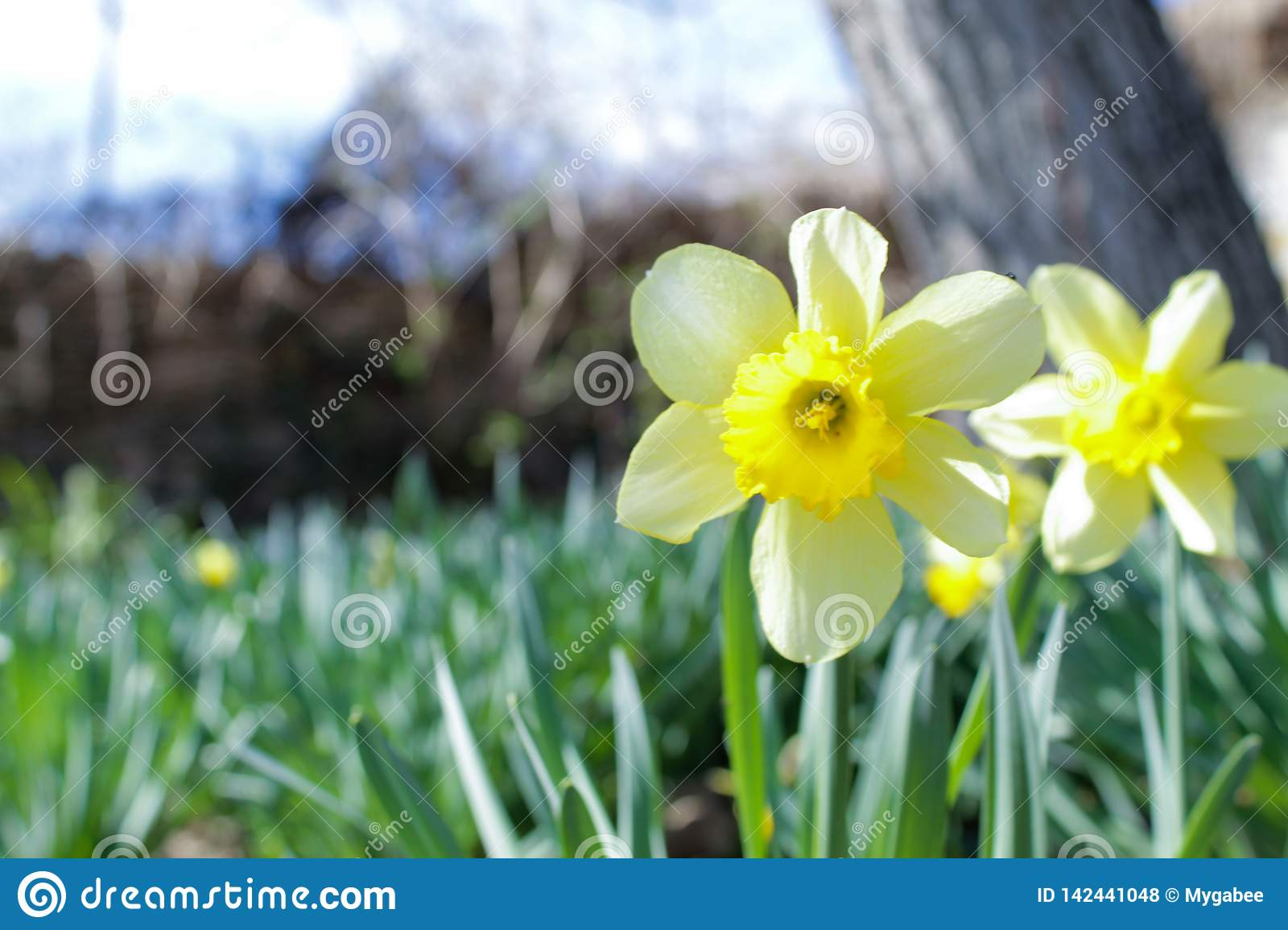 Forerunner of Spring, double Narcissus