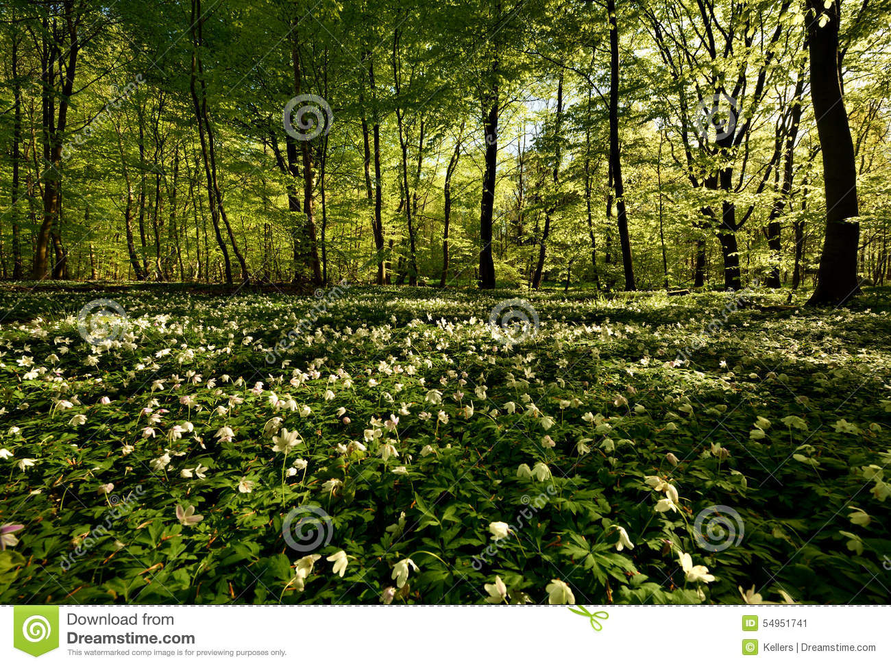 Download Fores anemones stock image. Image of growth, scene, green - 54951741