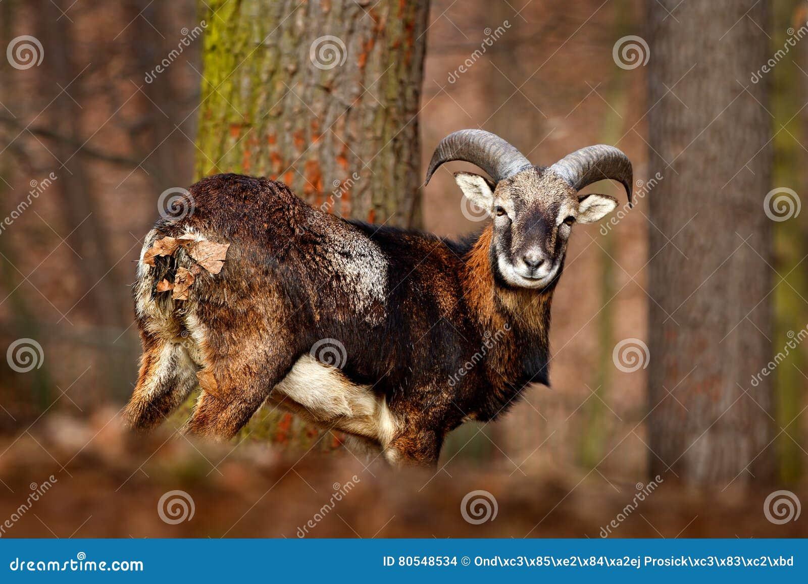 Forest animal in the habitat. Mouflon, Ovis orientalis, forest horned animal in the nature habitat, portrait of mammal with big ho
