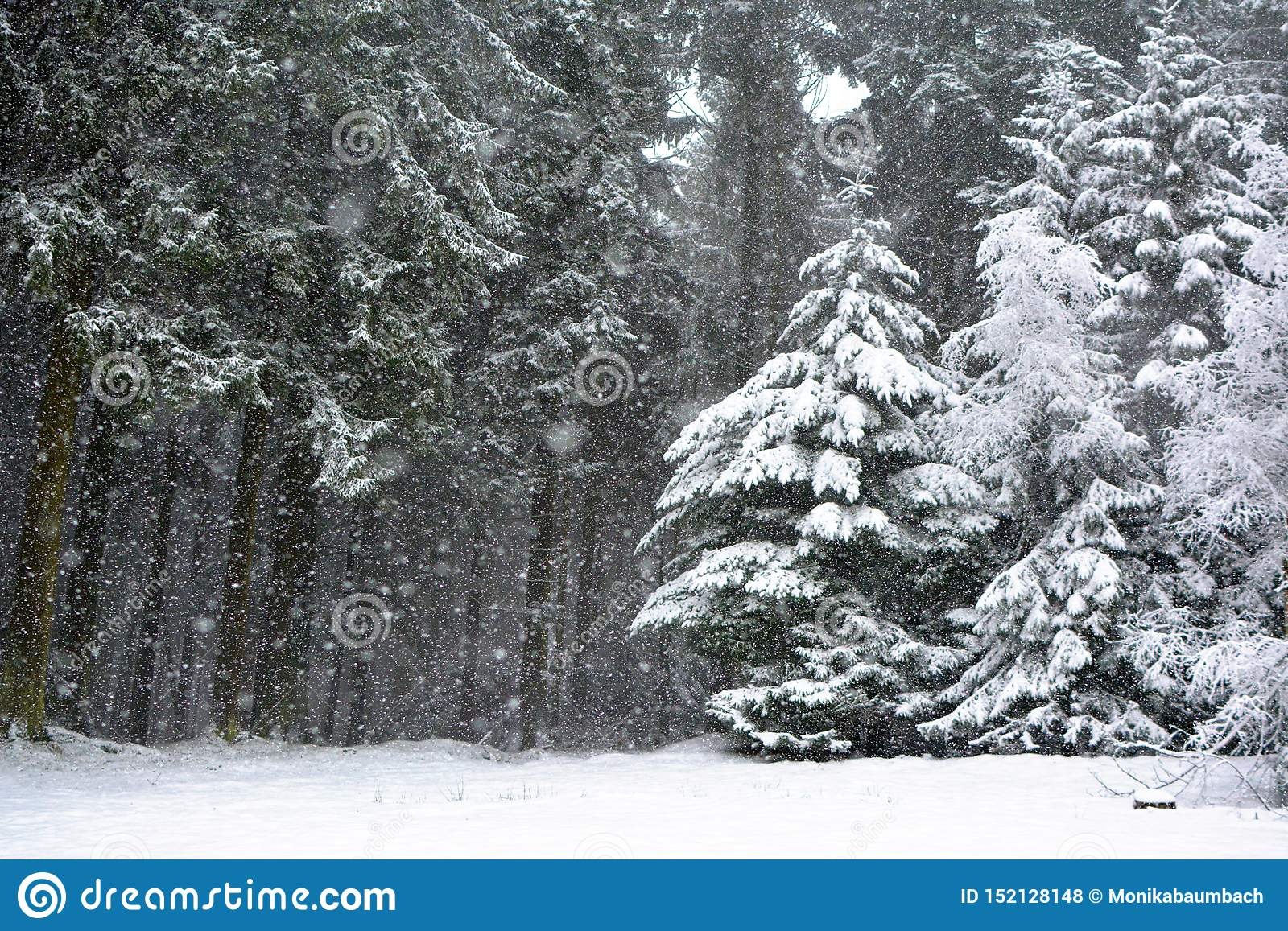 Forest with conifer trees during heavy snow storm in winter