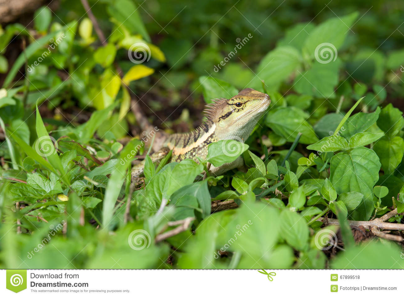 Forest Crested Lizard