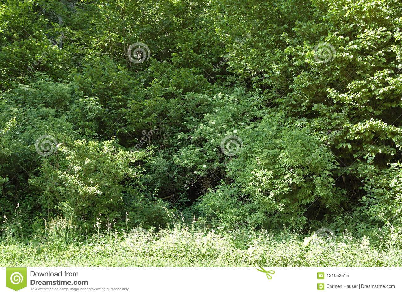 Forest Edge In Spring With Flowering Elder Bushes Stock Image