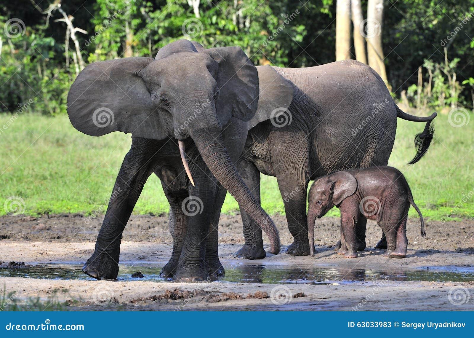Forest Elephant africano, cyclotis do africana do Loxodonta, (elefante da moradia da floresta) da bacia de Congo No Dzanga salino