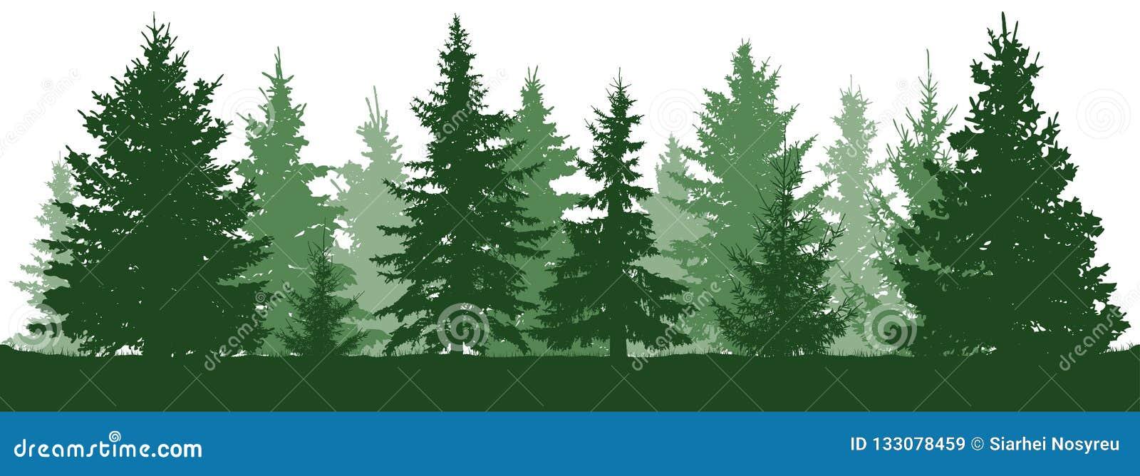 Forest fir trees silhouette. Coniferous green spruce.