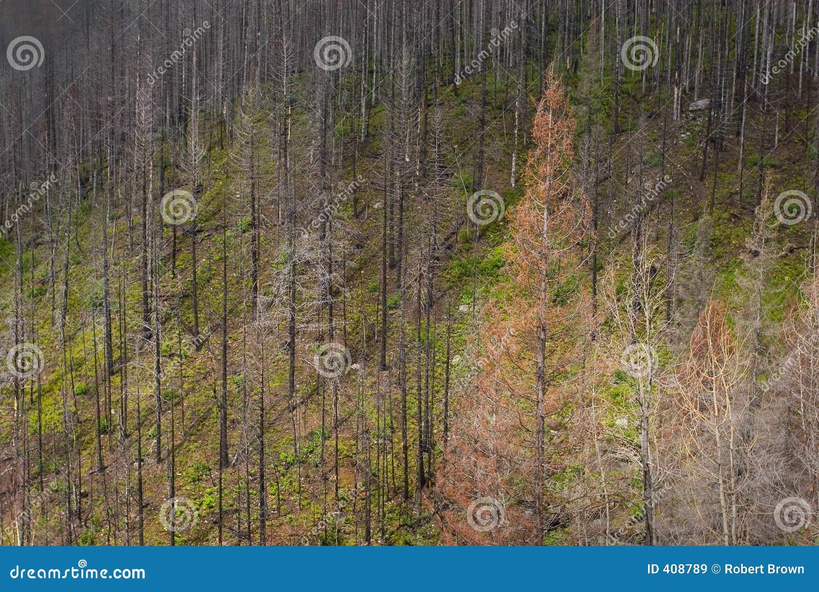 Forest Fire Area, Glacier National Park
