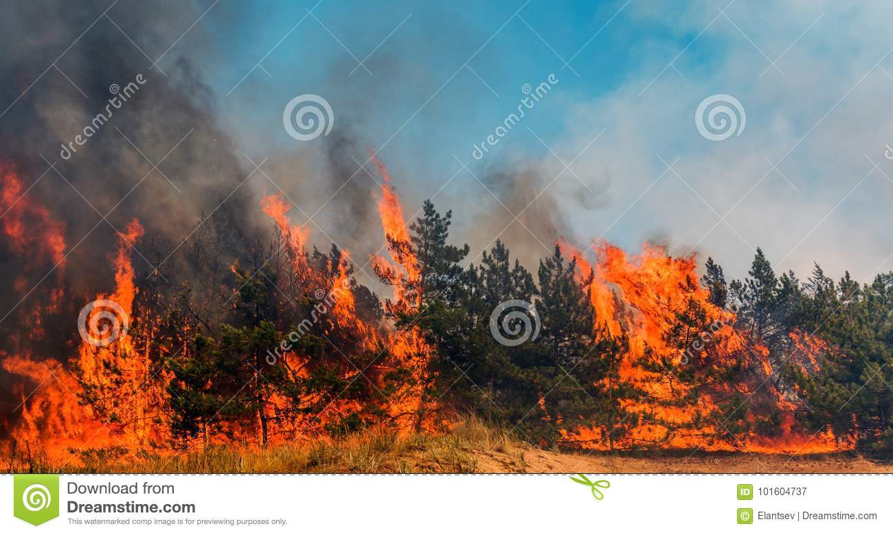 Forest fire. fallen tree is burned to the ground a lot of smoke when wildfire.