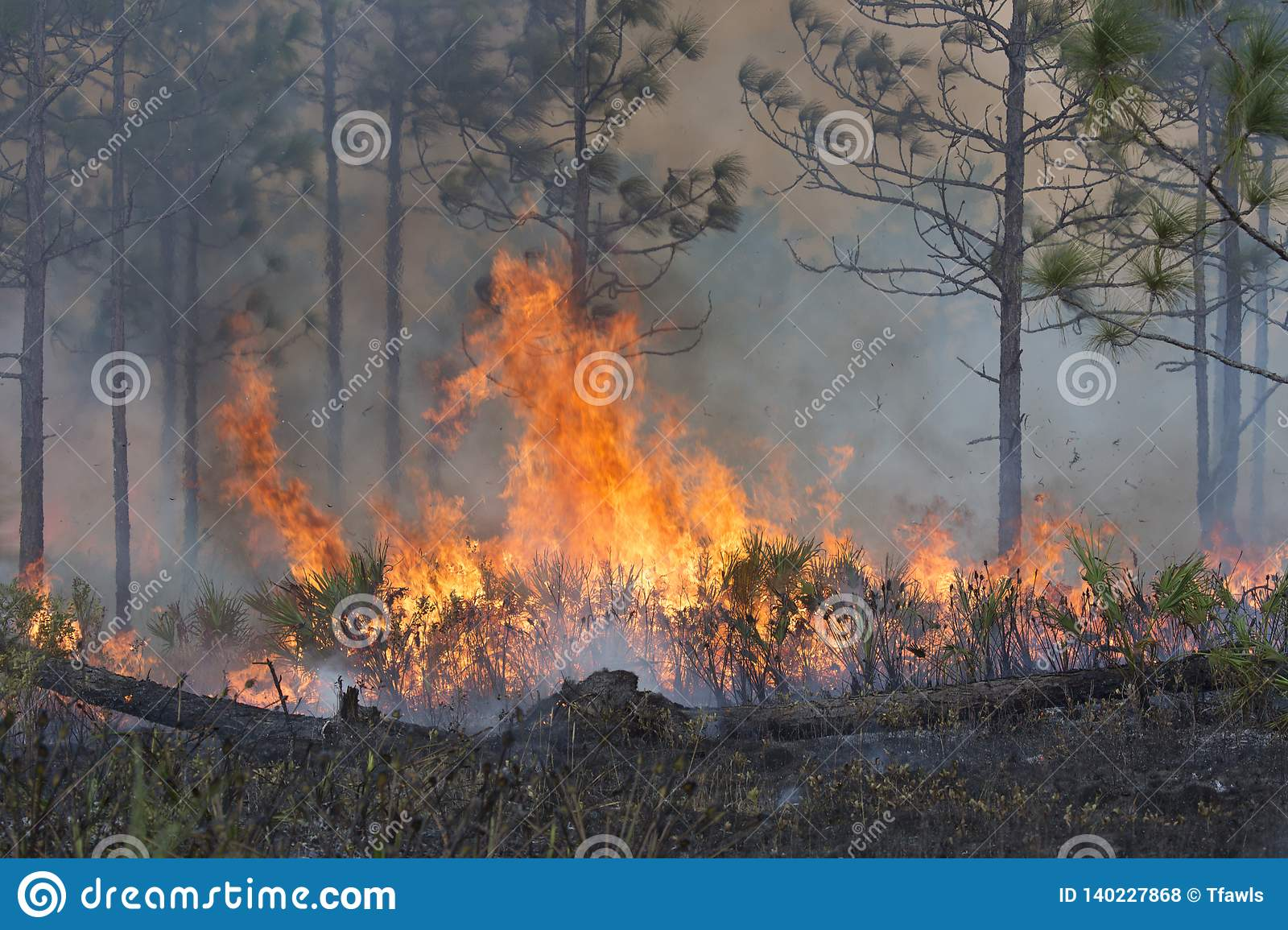 Forest Fired Under Controlled Conditions