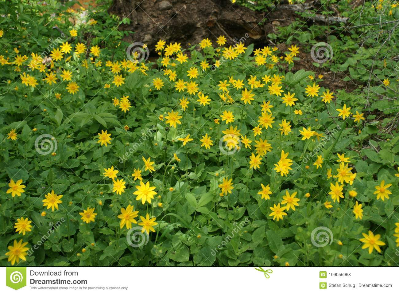 Arnica On The Forest Floor Stock Photo Image Of Site 109055968