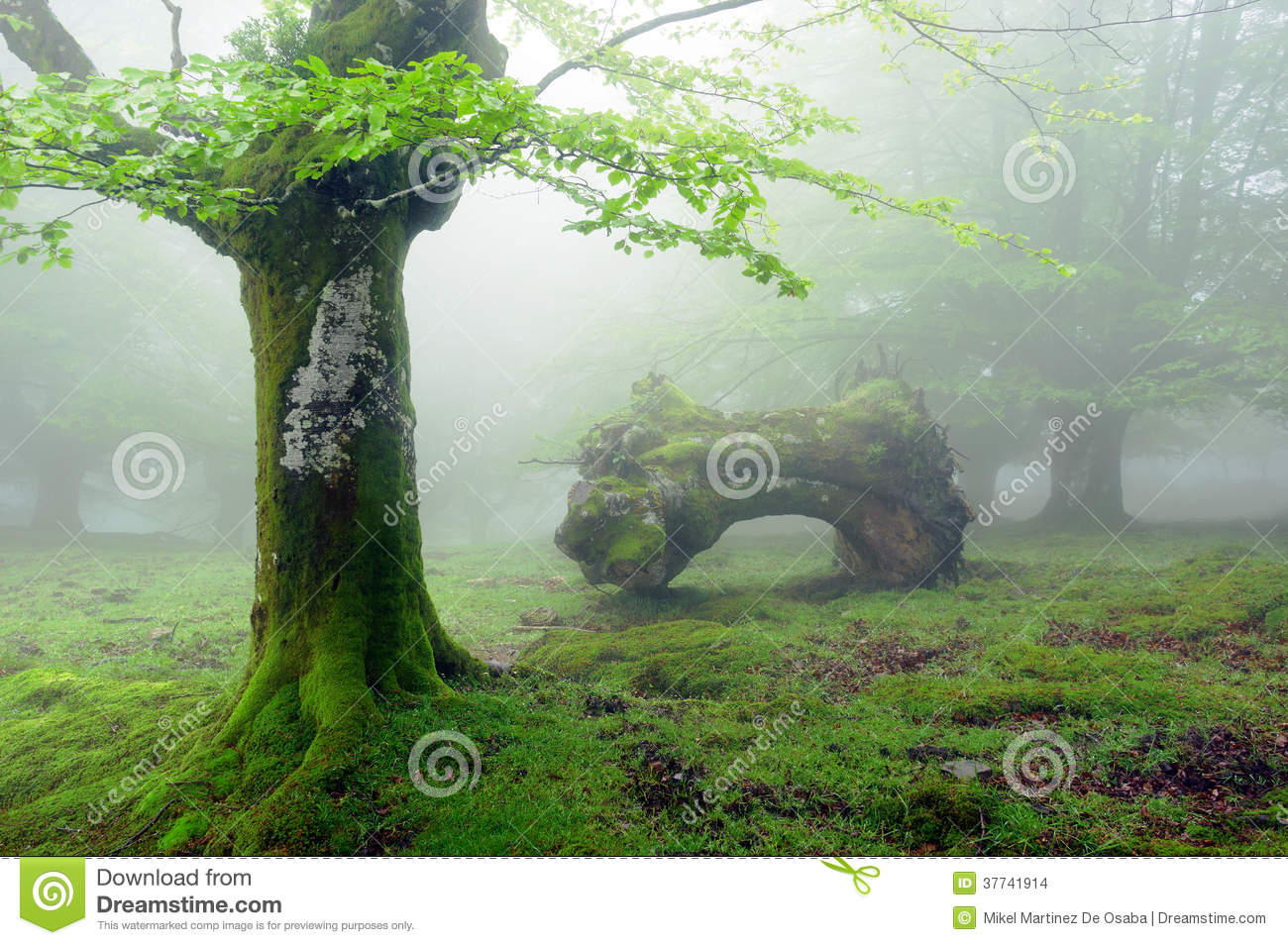 Forest with fog in spring and dead trunk