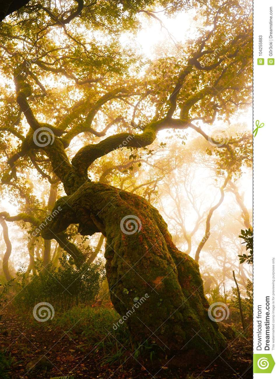 Forest Foggy Day, Red Oak Tree, Secular Woods, Nature, Planetarium