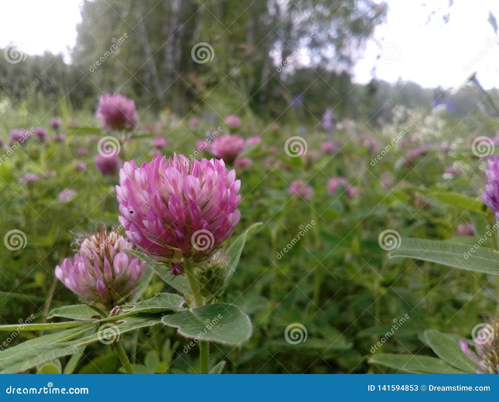 Forest Glade mit rosa Klee