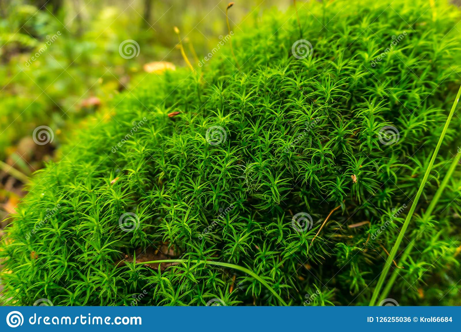 Forest moss on the old stump.