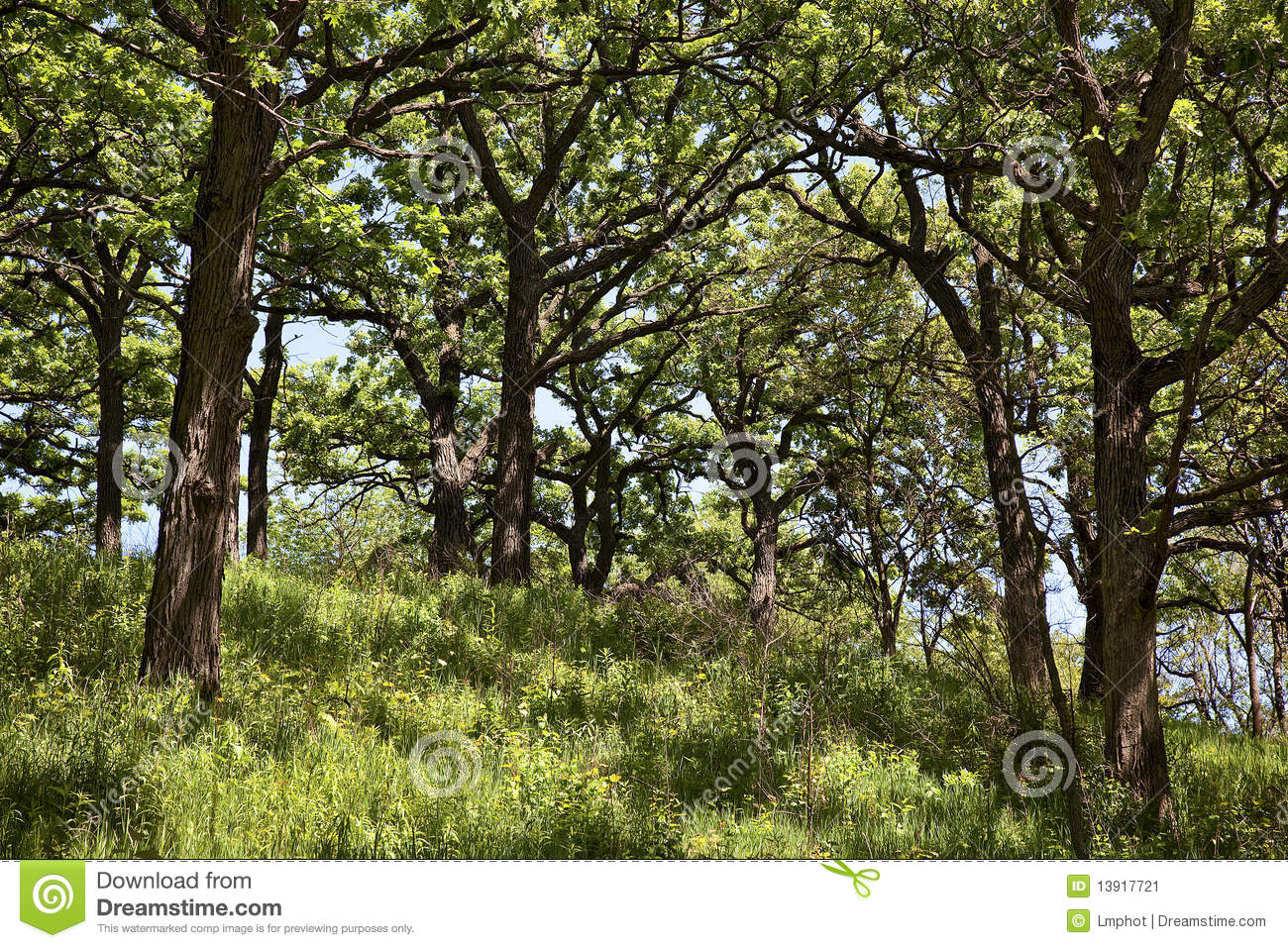 oak forest online dating The history of english oak  king of the forest but oak trees have been here for much longer than humans, with remnants of the trees dating way back to the.