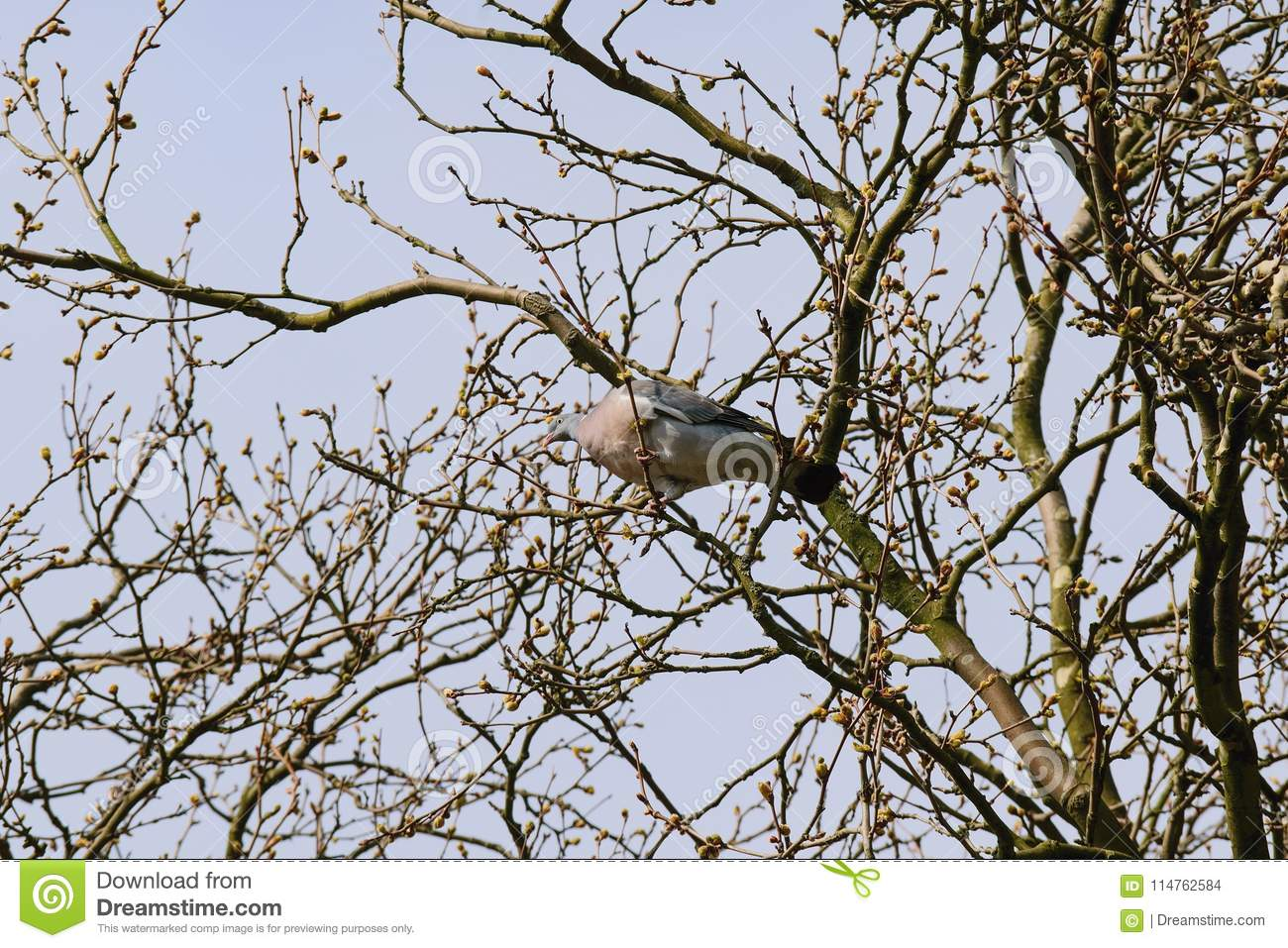 Forest pigeon on a tree branch.