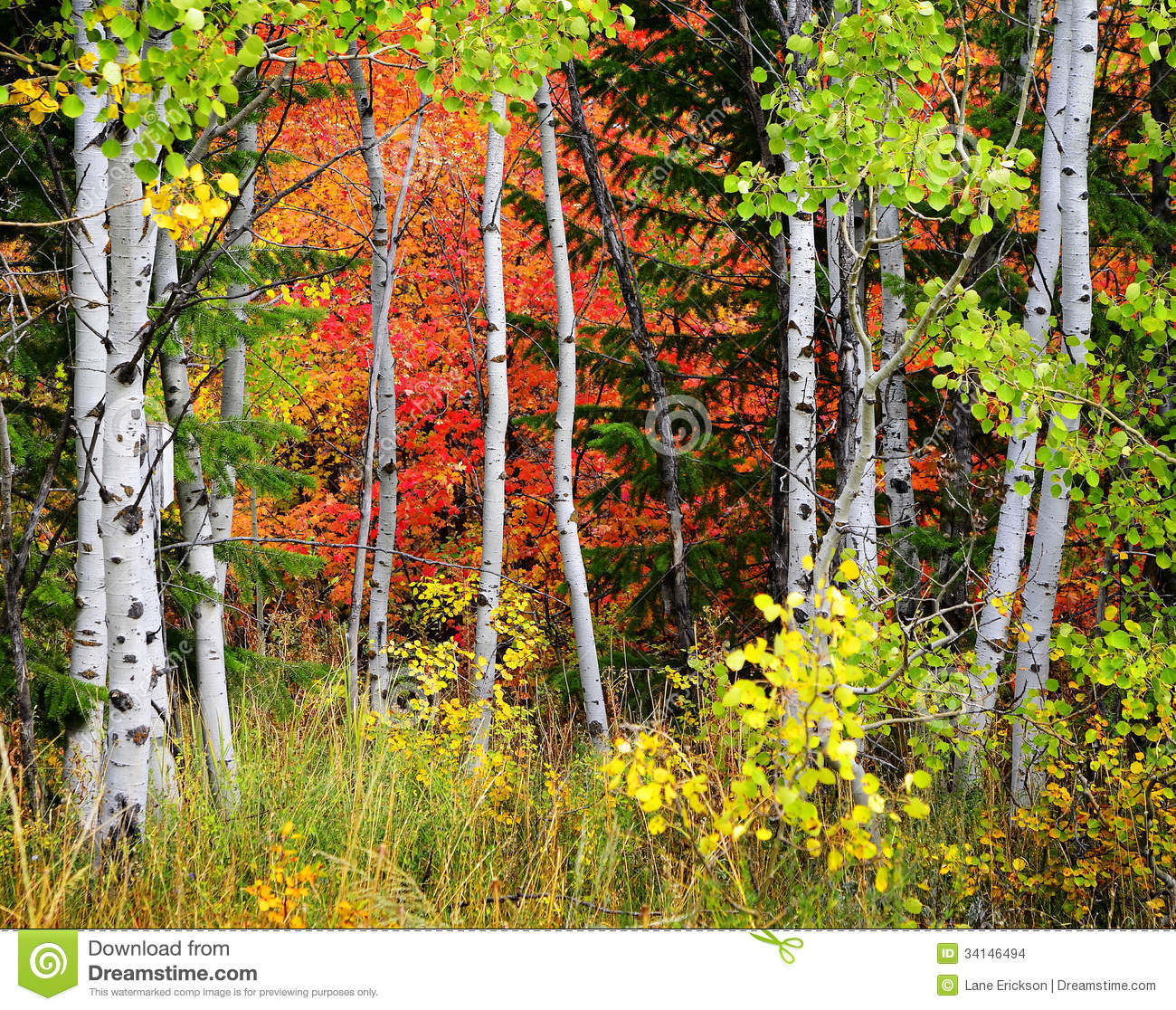 ... Of Pine, Aspen And Pine Trees In Fall Stock Images - Image: 34146494