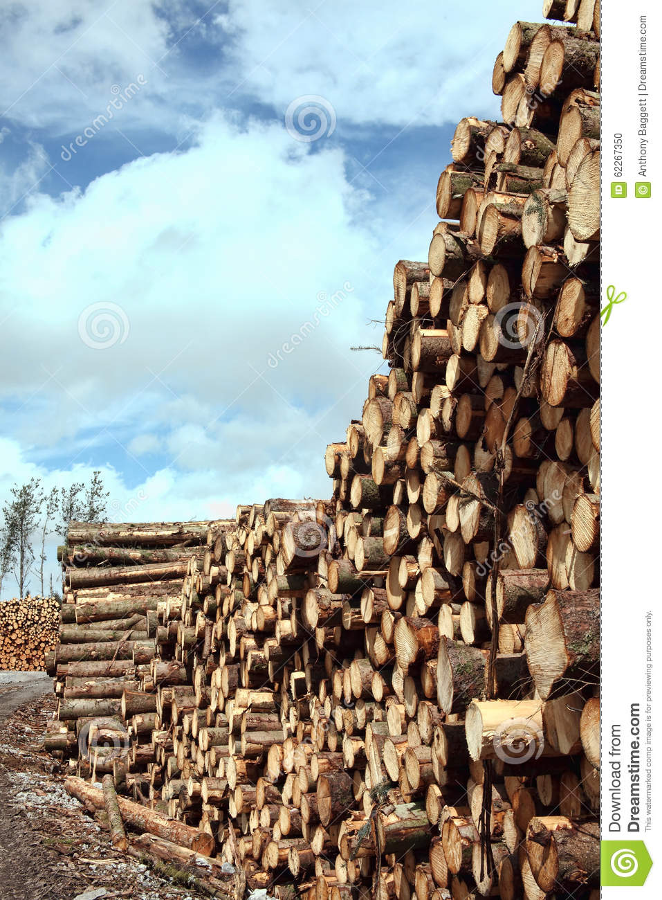 Forest pine trees log trunks stock photo image 62267350 for Pine tree timber