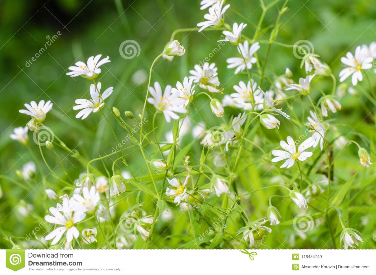 Forest Plant Stellate Flowers In Spring With White Flowers Stock
