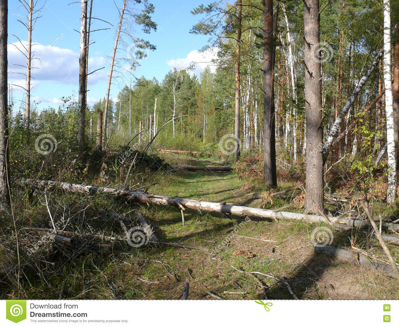 Forest road after a strong wind