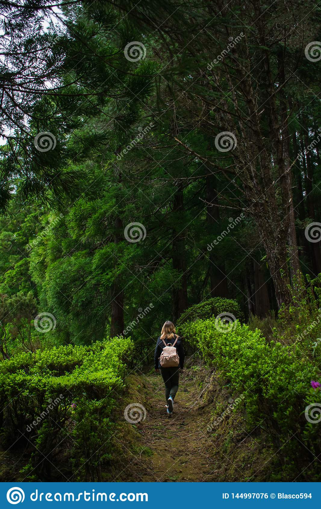 Forest in Sao Miguel, Azores, Portugal. Tall trees