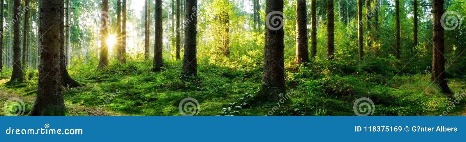 Forest sunrise panorama