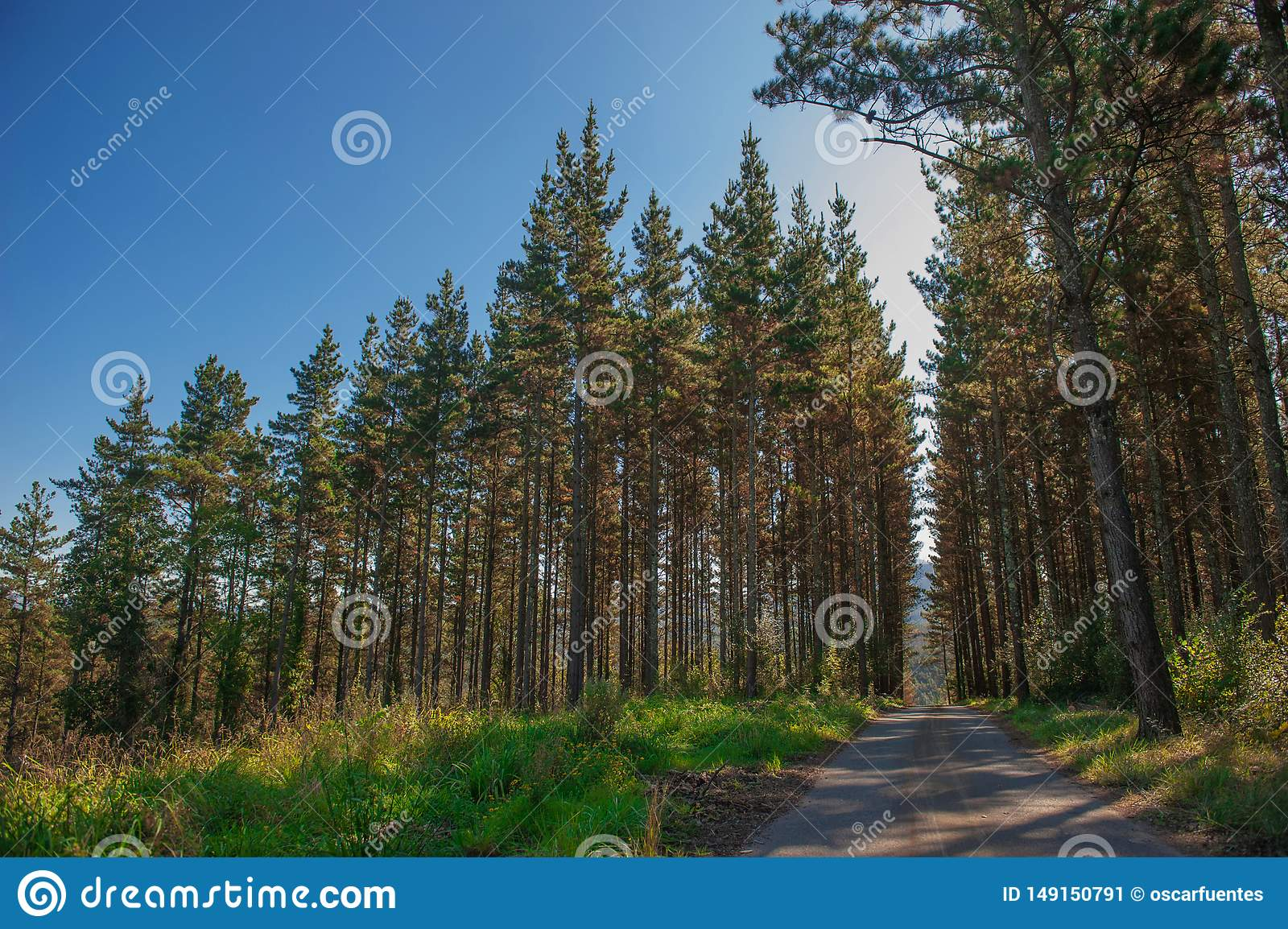 Forest of trees. forest road. green nature