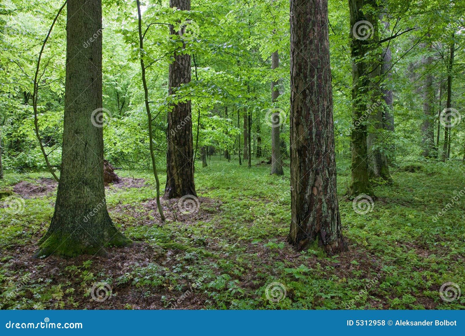 Download Foresta Alla Mattina Di Primavera Fotografia Stock - Immagine di nave, legno: 5312958