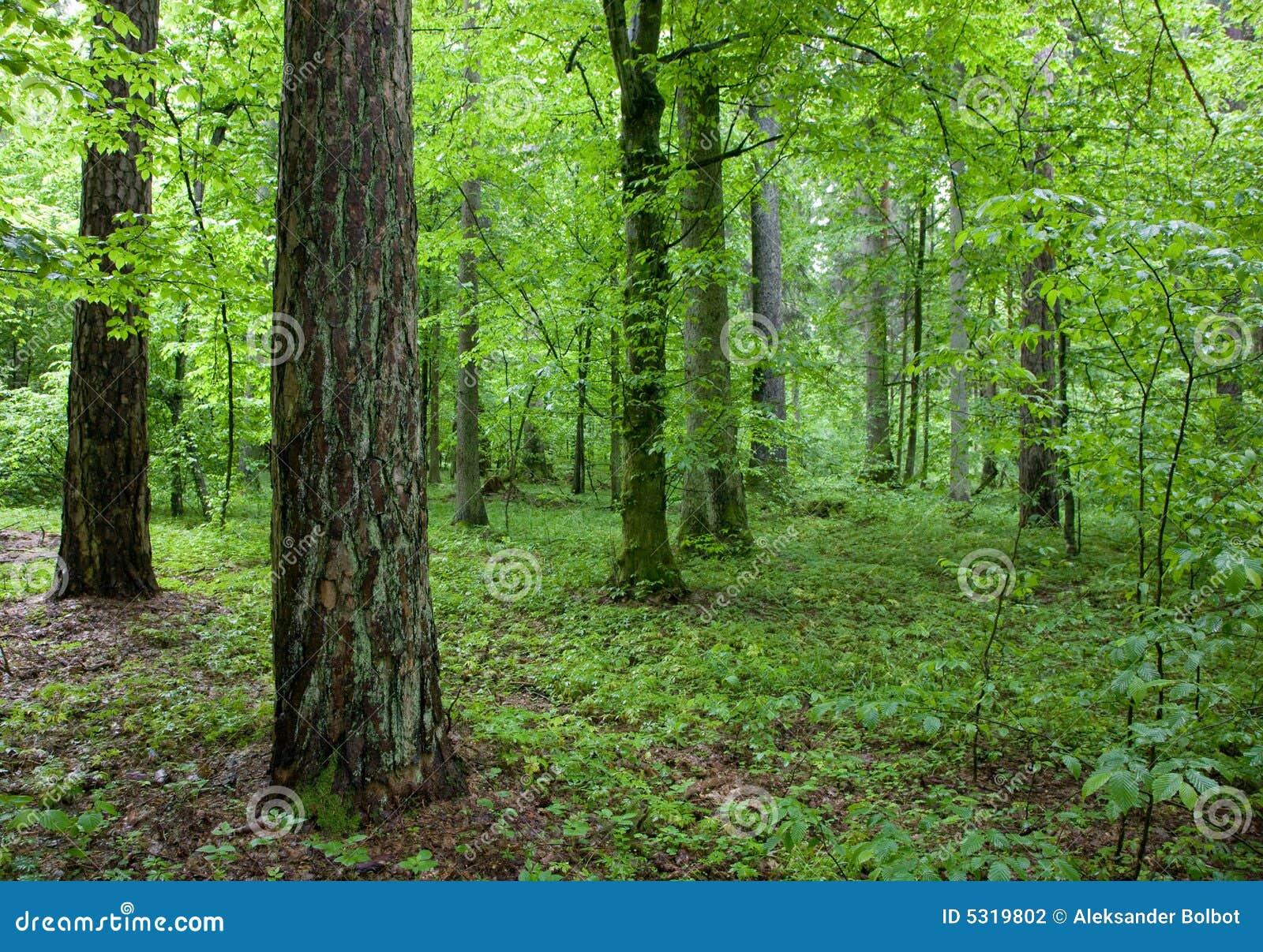 Download Foresta Alla Mattina Di Primavera Fotografia Stock - Immagine di rinnovabile, spruce: 5319802