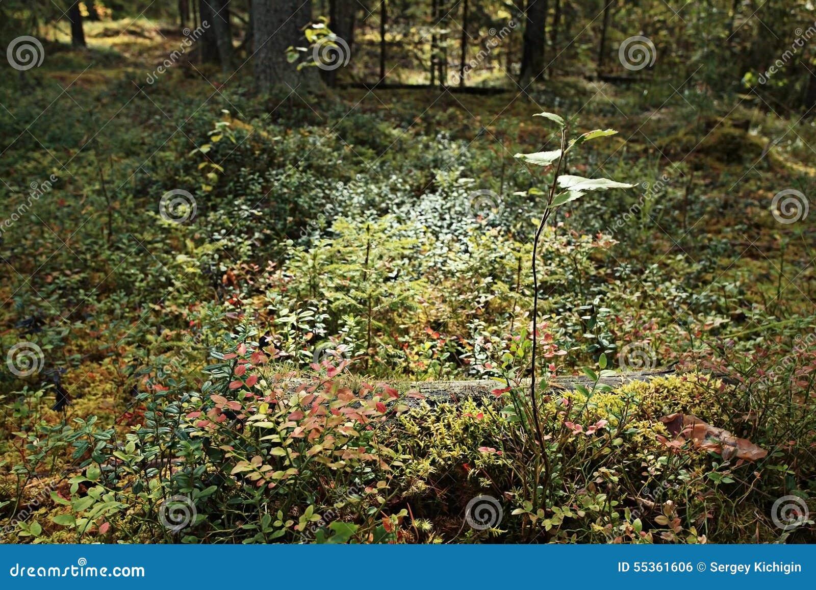 Foresta attillata