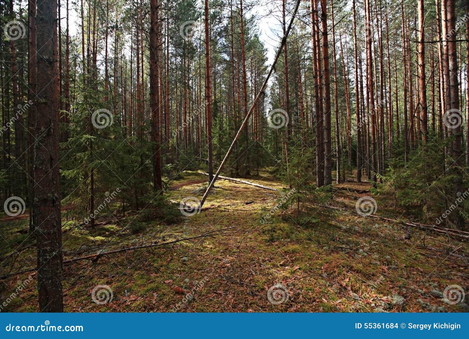Foresta attillata densa