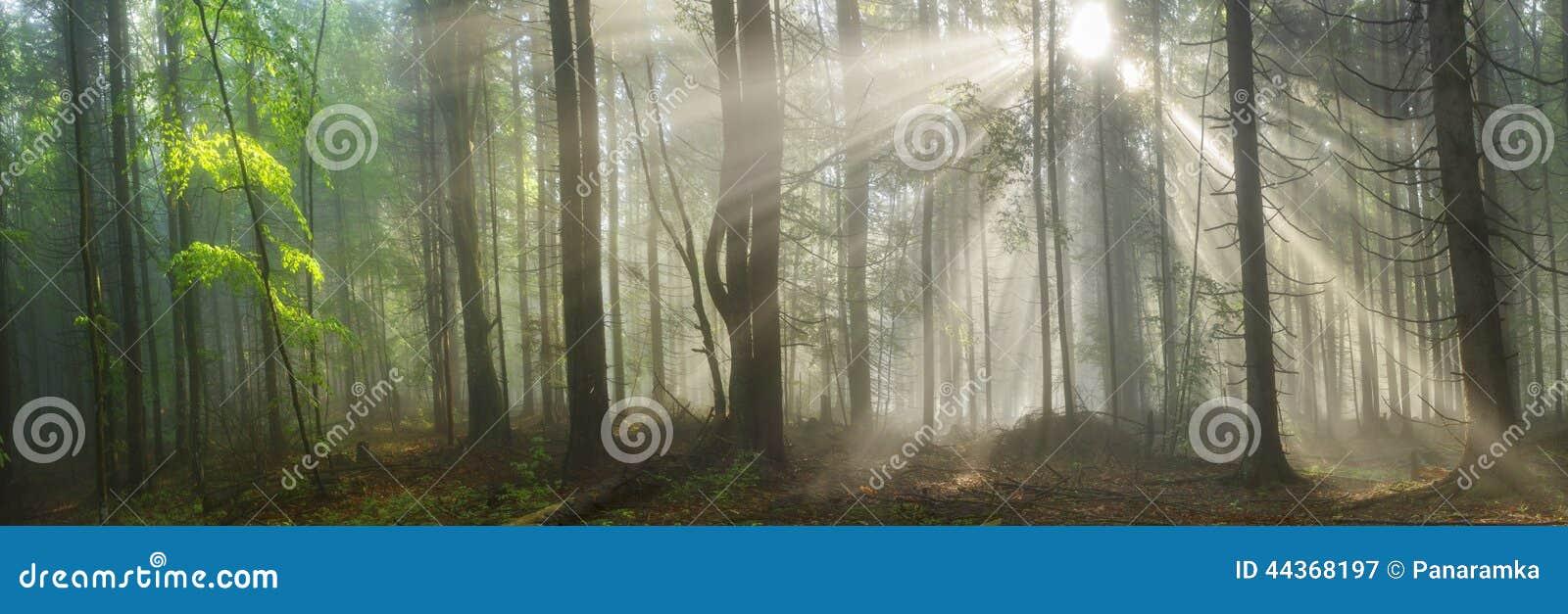 Foresta carpatica magica all alba