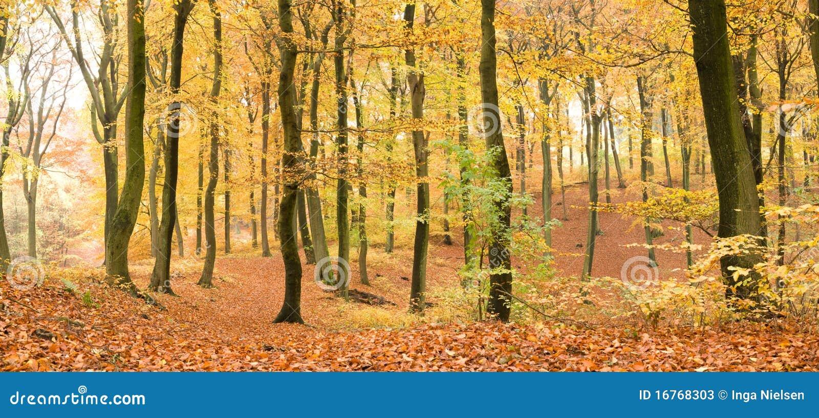 Foresta del faggio in autunno