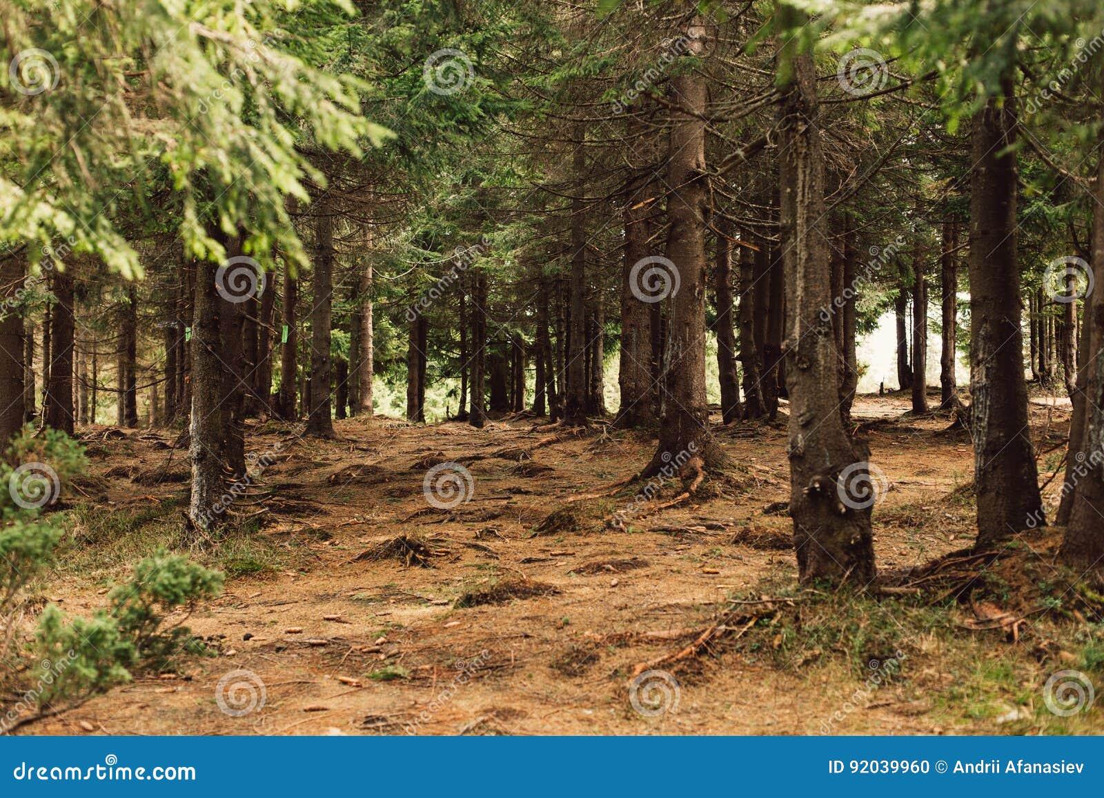 Foresta del pino nelle montagne