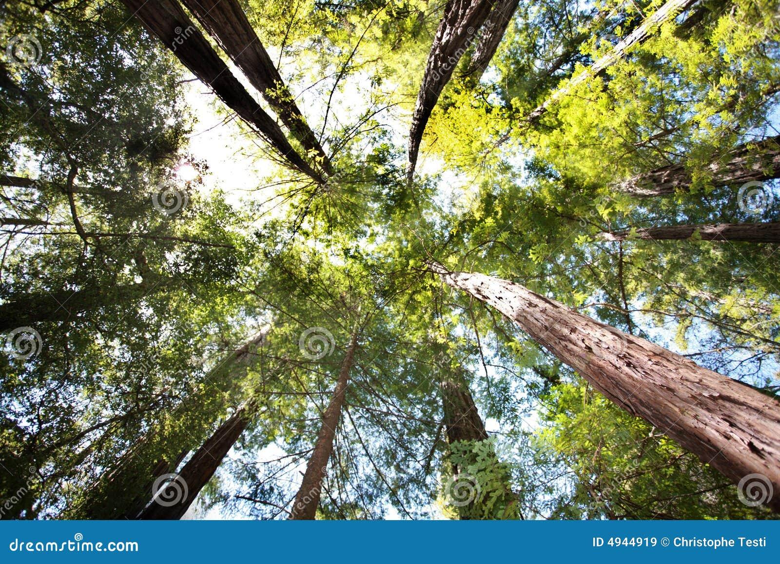 Foresta del Redwood