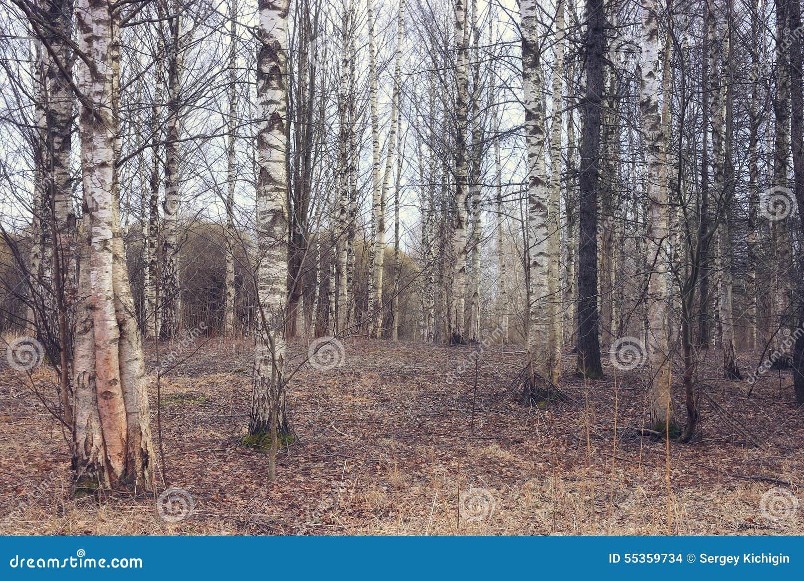 Foresta della betulla