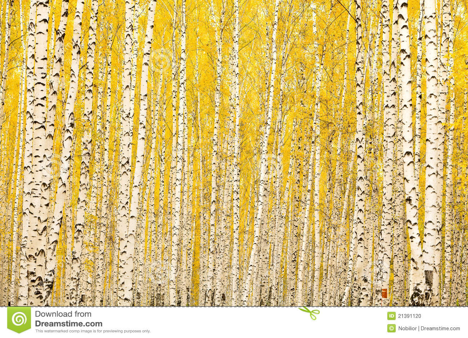 Foresta della betulla di autunno