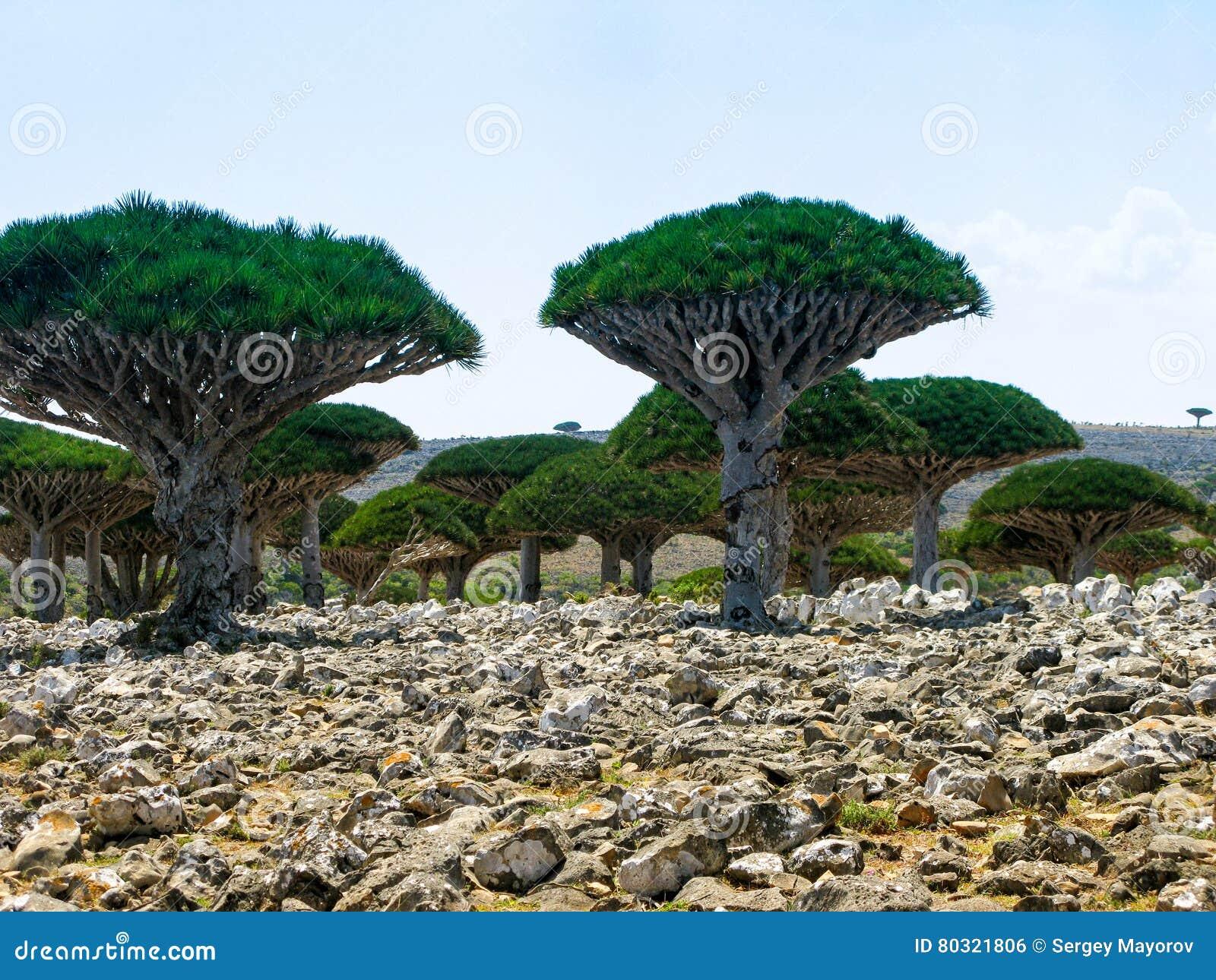 Foresta della dracena delle canarie pianta endemica dell for Pianta della foresta di pioppo