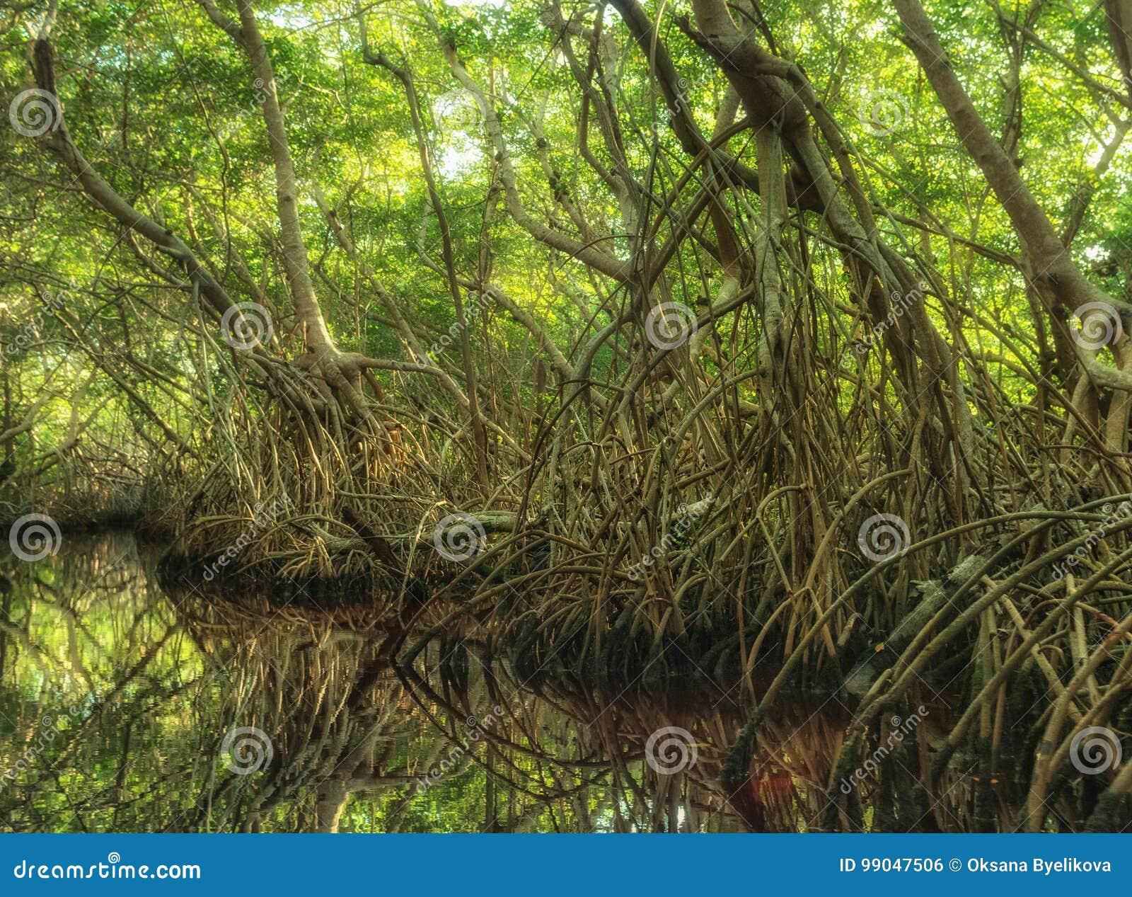 Foresta della mangrovia in Sian Kaan, riserva di biosfera, Quintana Roo, Messico