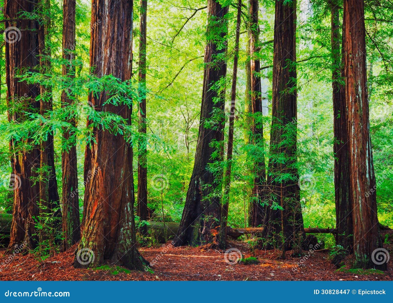 Foresta della sequoia
