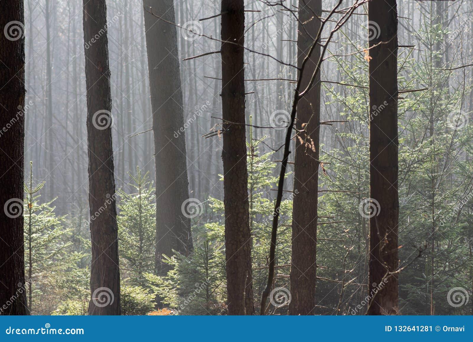 Foresta di conifere spessa in autunno I raggi traslucidi del sole cadono delicatamente sui tronchi degli alberi