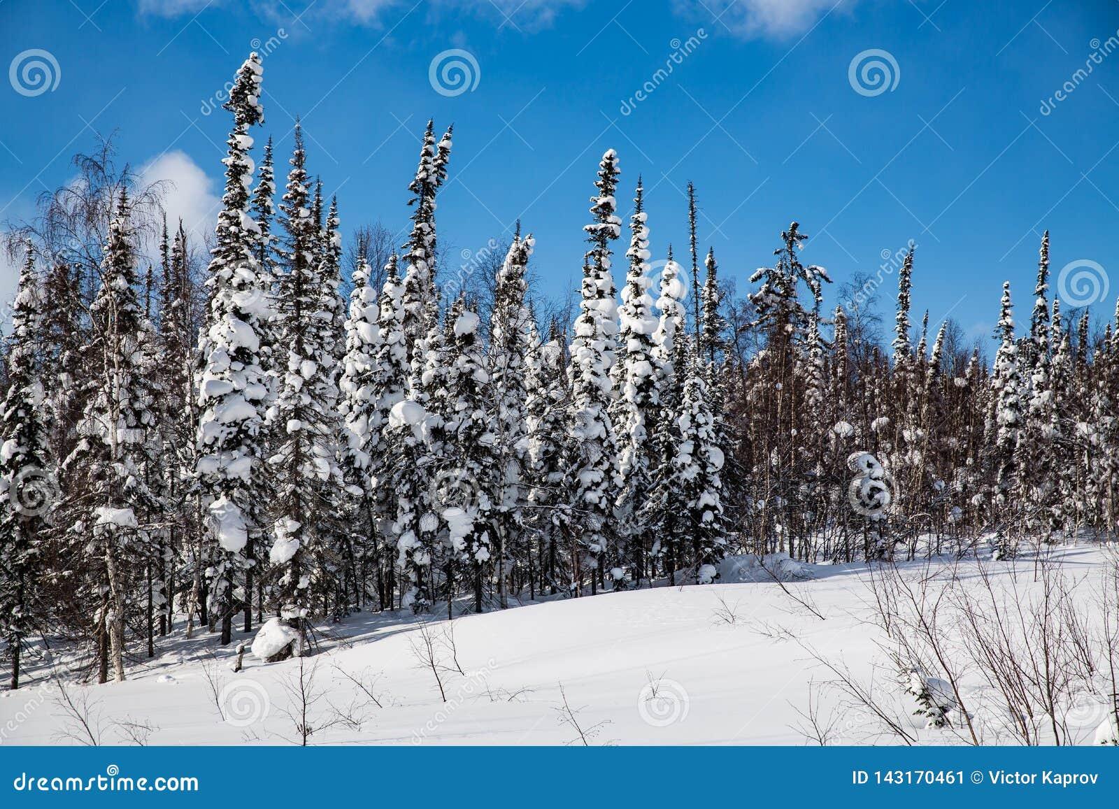 Foresta di inverno in tempo soleggiato contro un cielo blu