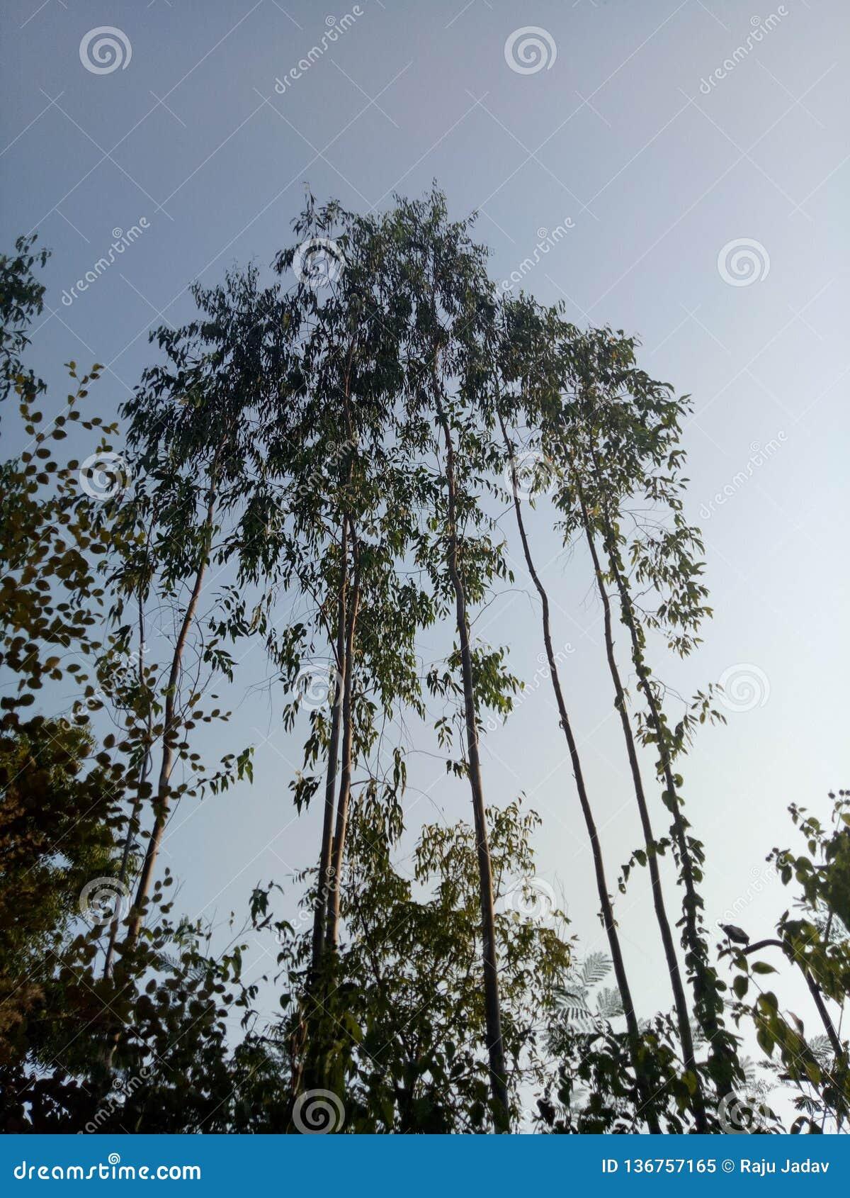 In foresta grande ed agli alberi lunghi