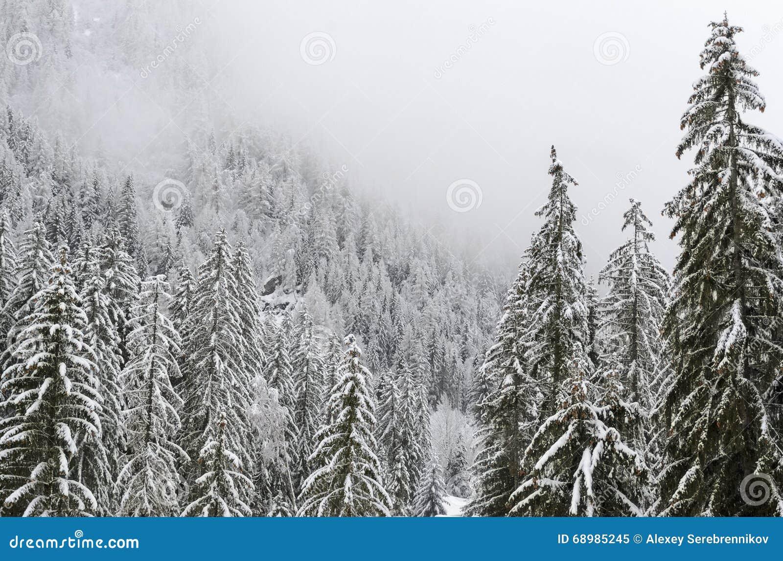 Foresta innevata dell abete nelle alpi