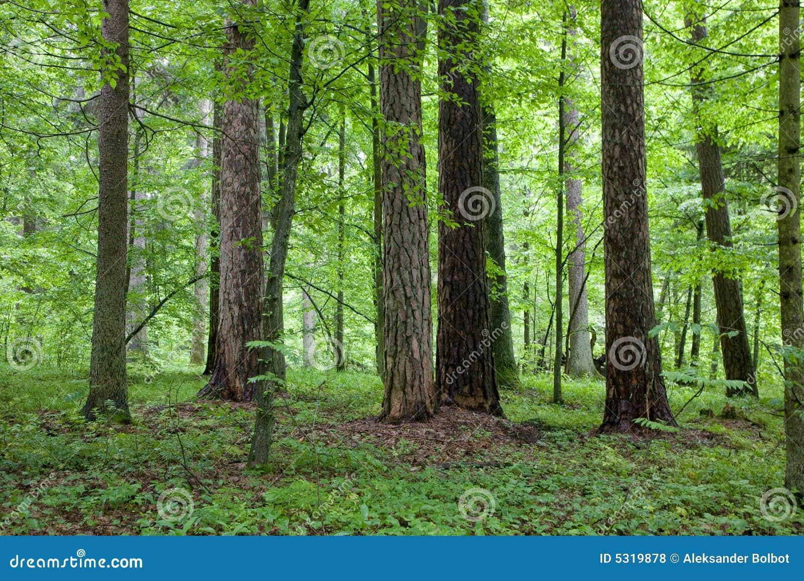 Download Foresta Mixed Alla Mattina Di Primavera Fotografia Stock - Immagine di alba, spruce: 5319878