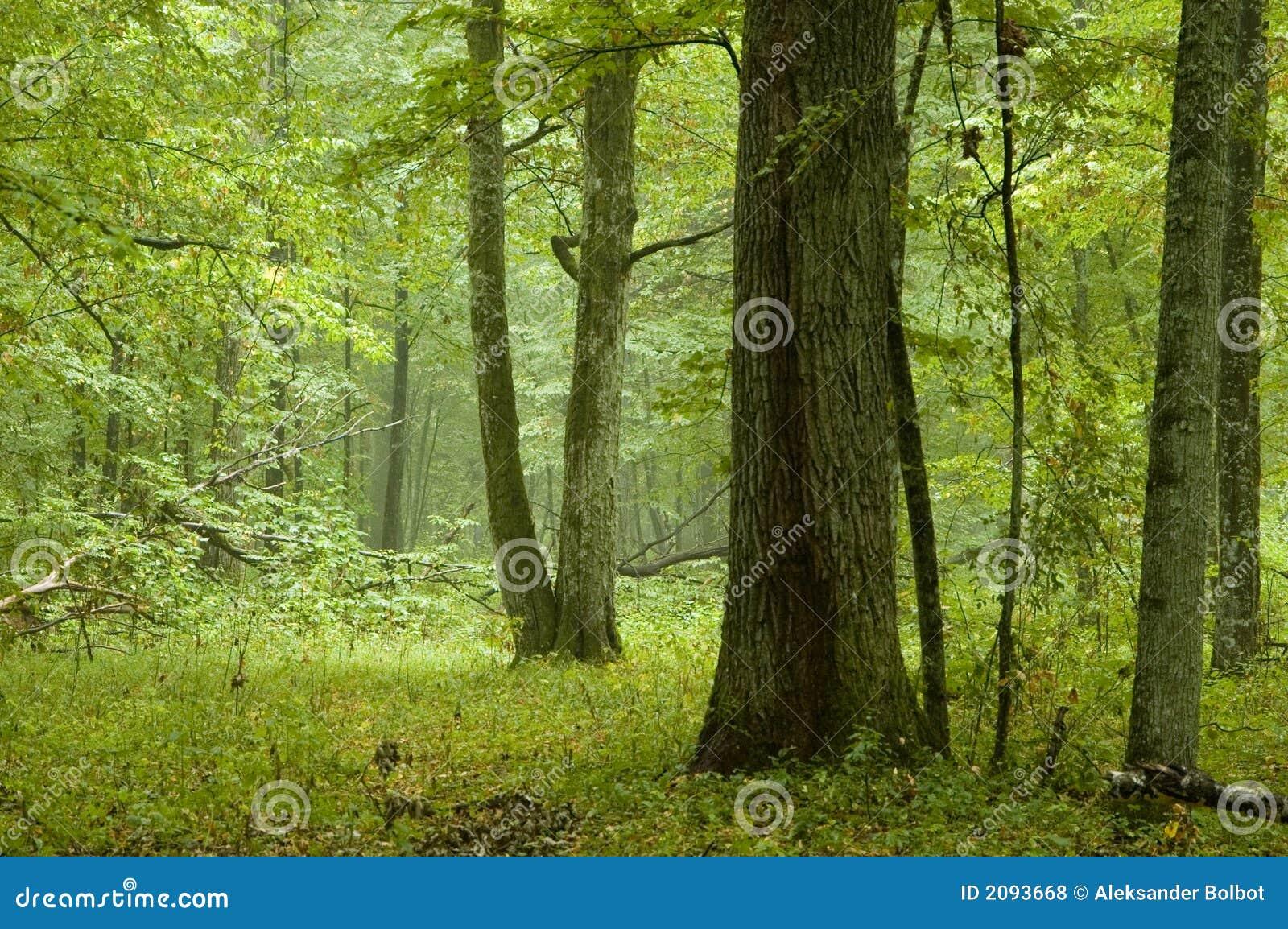 Foresta mixed naturale dopo pioggia