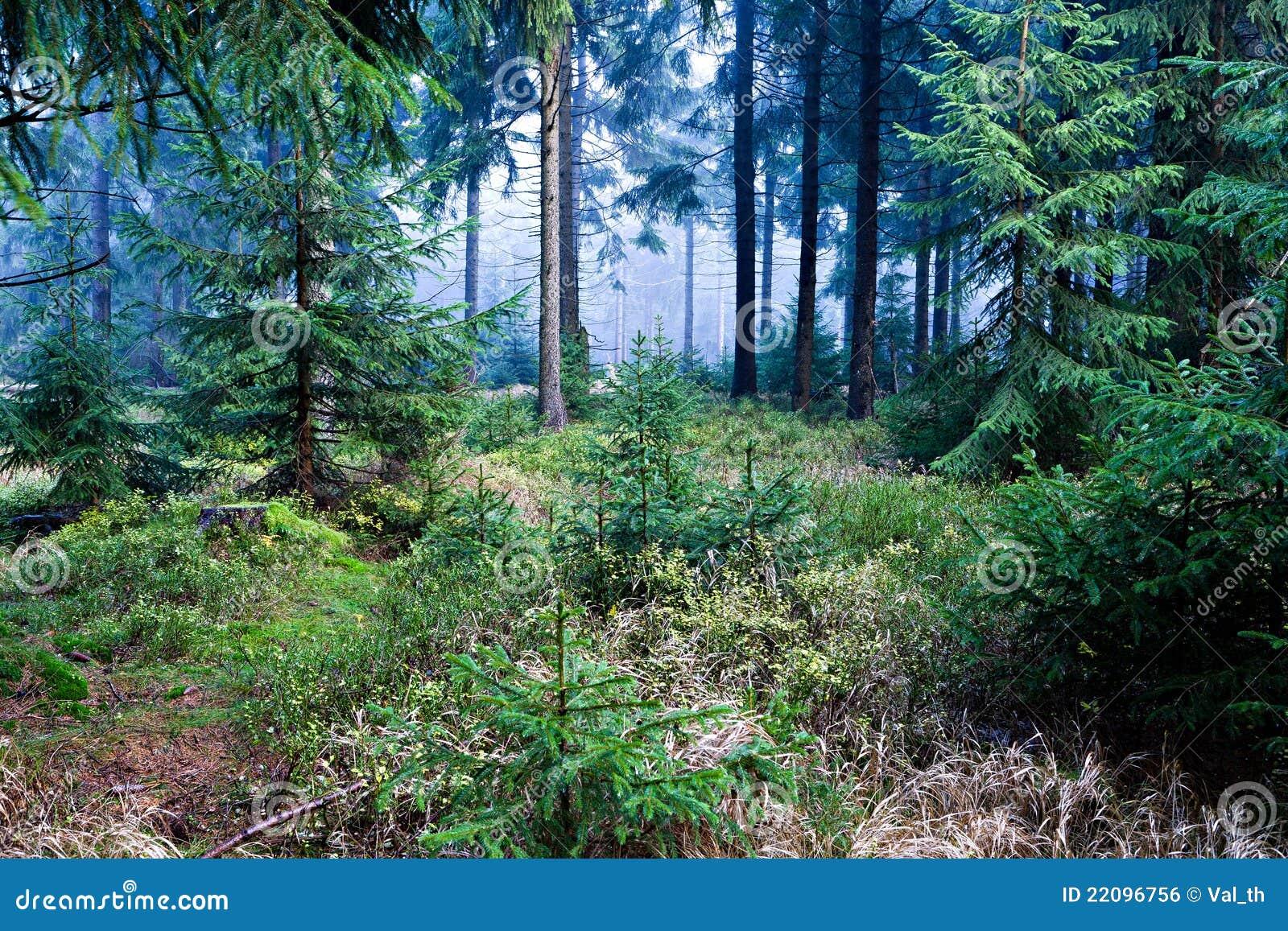 Foresta sempreverde immagine stock libera da diritti for Quercia sempreverde