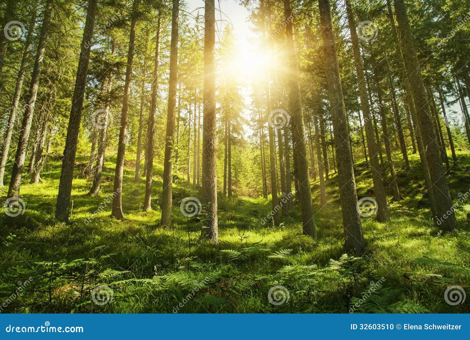 Foresta soleggiata
