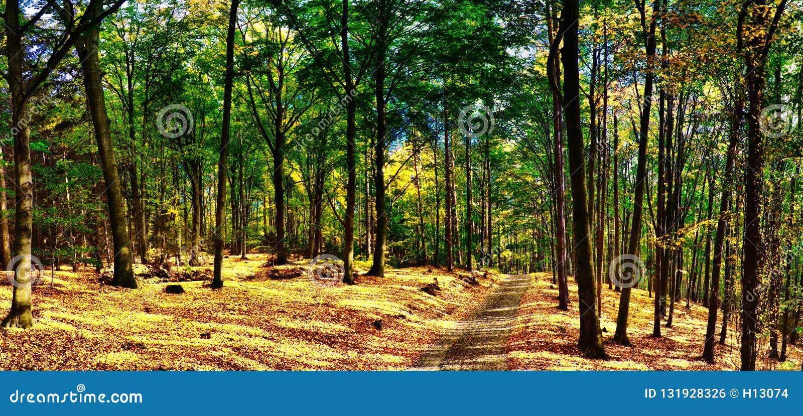 Foresta/terreno boscoso degli alberi di faggio con la strada della ghiaia a luce del giorno di pomeriggio di autunno