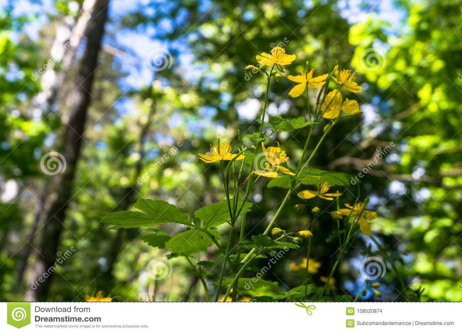 Cute Yellow Flowers Of Medicinal Herb Celandine Or Chelidonium Majus