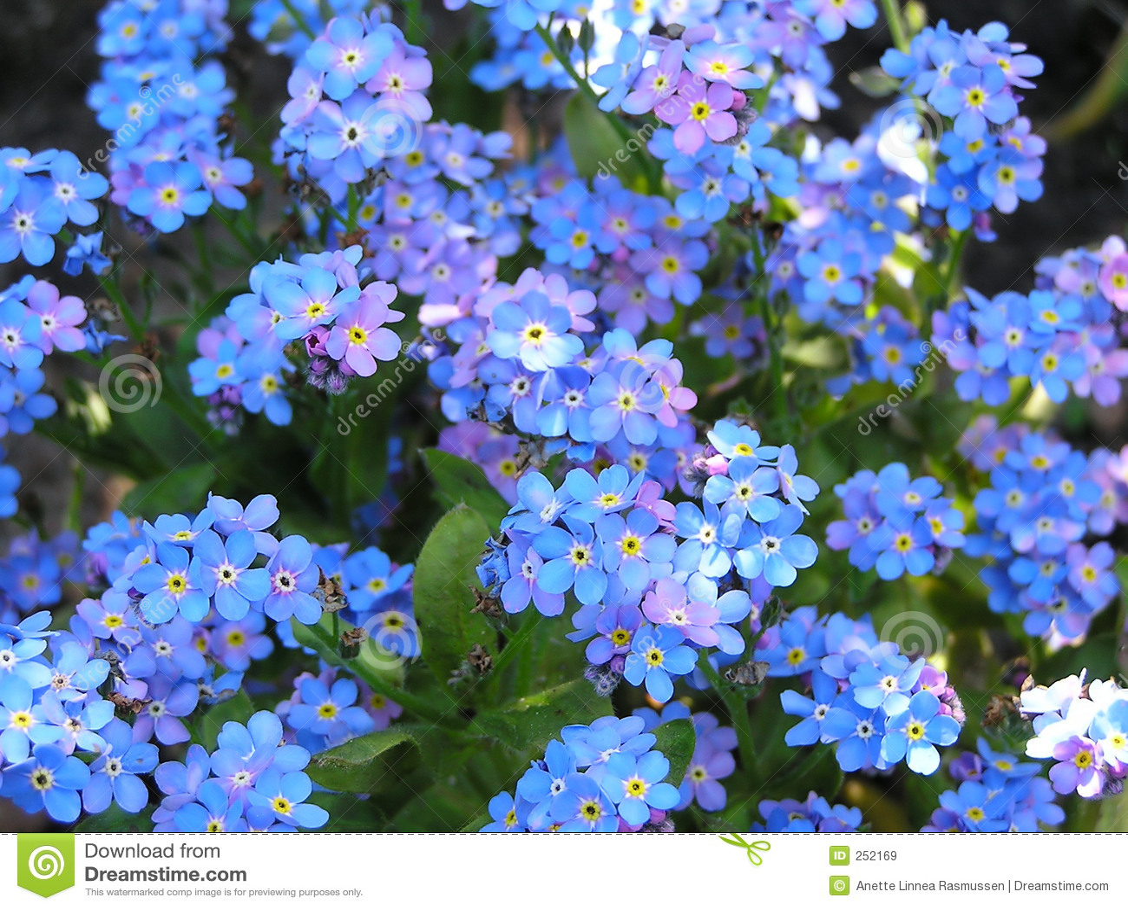 Цветы с синими цветами : названия, описание, фото 97