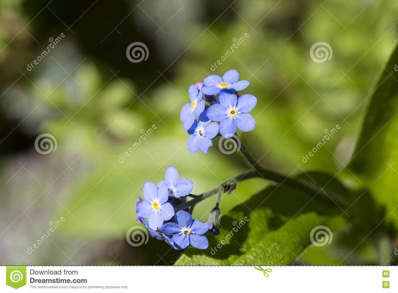 Forget Me Not Stock Photo Image Of Plant Center Appear 71002116